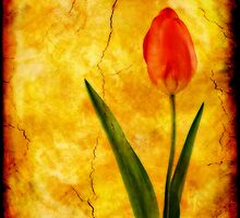 Single Red Tulip by Ian Jeffrey
