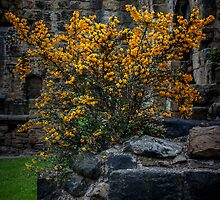 Berberis Darwinii by Tim Waters