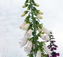 wild white and purple foxglove flowers by morrbyte