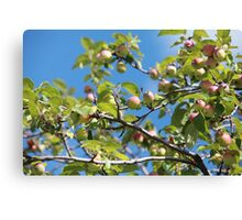 Paradise apples on a branch Canvas Print