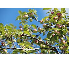 Paradise apples on a branch Photographic Print