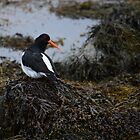 Oyster Catcher by Jonathan Goddard