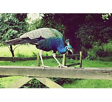 Perching on a fence. Photographic Print