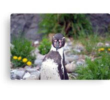 Penguin spotted me Canvas Print
