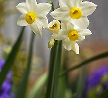 Potted Narcissi  by vivsworld