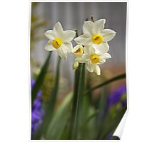Potted Narcissi  Poster