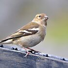 Sparrow on fence by Madsen1981