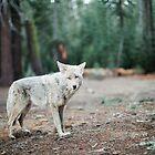 Wolf In Yosemite by ArnauDubois