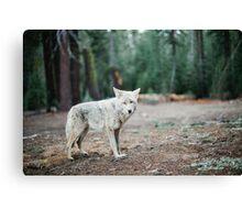 Wolf In Yosemite Canvas Print