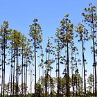 Line of Pines by AuntDot