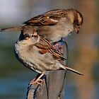 Pretty Pair Of Harbour Sparrows by lynn carter