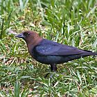 Male Brown-headed Cowbird by Otto Danby II