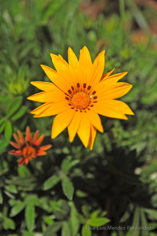 yellow daisy by Atman Victor