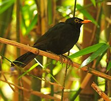 Common Blackbird by Atman Victor