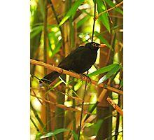 Common Blackbird Photographic Print