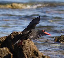 Sooty Oystercatcher in Flight by TassieTigress