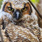 Horned Owl - Ottawa, Canada by Josef Pittner