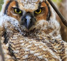 Horned Owl - Ottawa, Canada by Josef Pittner