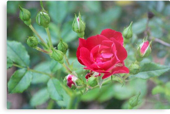 Rose Garden by Bob Hardy
