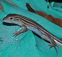 Six-lined Racerunner by Michael L Dye