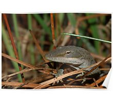 Northern Green Anole Poster