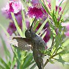 Hummingbird on a Desert Willow by Saija  Lehtonen