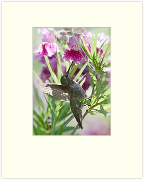 Hummingbird on a Desert Willow by Saija  Lehtonen