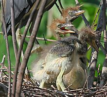 Tricolored heron babies barely 48 hours old ! by jozi1