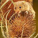 Harvest Mouse On A Teasel by Sandra Cockayne