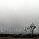 16.5.2013: Pine Trees in Morning Mist by Petri Volanen