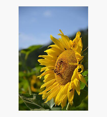 Bee Sunny Photographic Print