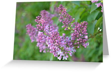 Lilac Dreams by BirgitHM