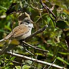 Whitethroat by VoluntaryRanger