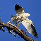 Black Shouldered Kite, On Lift off  by Kym Bradley