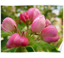 Crab Apple Buds  Poster