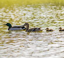 A family of ducks going for a swim! by CarlH2013