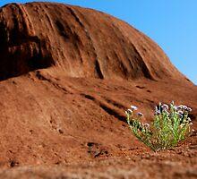 Uluru Bloom by pictureit