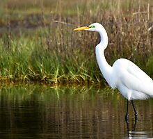 Egret by Mike Oliver