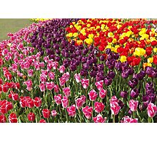 Tulip Garden in the Mid-day Sun Photographic Print