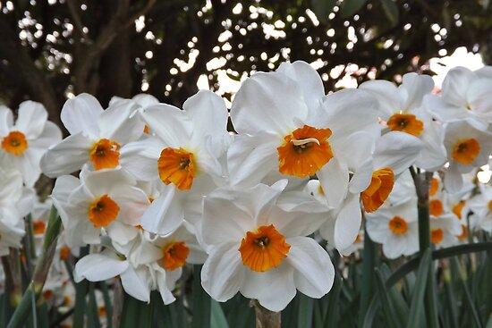 Lush & Alluring Mini Daffodils by seeingred13