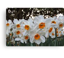 Lush & Alluring Mini Daffodils Canvas Print