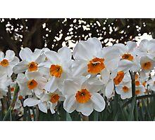 Lush & Alluring Mini Daffodils Photographic Print
