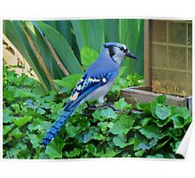 Blue Jay At The Feeder Poster