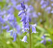 Field of bluebells  by Prettyinpinks