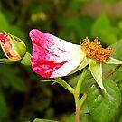 A Rose Was by WildestArt