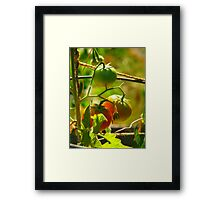 The Tomato Patch  Framed Print