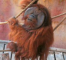 lovely orangutan by Atman Victor
