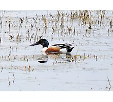 Shovel Billed Duck Photographic Print