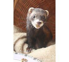 Happy Ferret Photographic Print