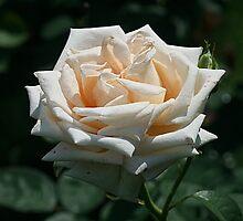 Peach of a Rose by Monnie Ryan